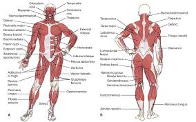 Human Anatomy And Body Systems Anatomy Organ Pictures Human Anatomy Muscular System Samples