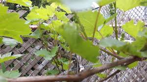 growing grapes in backyard ontario canada youtube