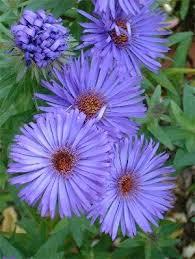 Wedding Flowers For September Best 25 Aster Flower Ideas On Pinterest September Birth Flower