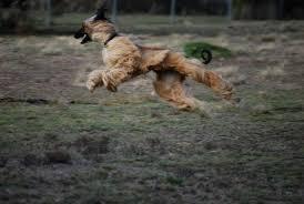 afghan hound ireland 13 wonderful afghan hound running pictures