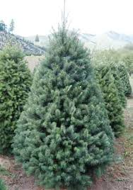 douglas fir christmas tree your guide to evergreen christmas trees
