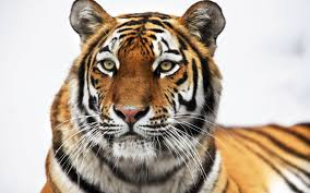 siberian tiger wallpapers hd wallpapers