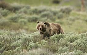 Bears Montana Hunting And Fishing - montana outlines specifics of possible grizzly hunt local