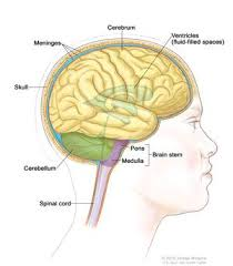 Anatomy Of The Brain And Functions Cerebrum National Library Of Medicine Pubmed Health