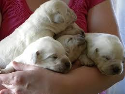 white lab puppies minnesota