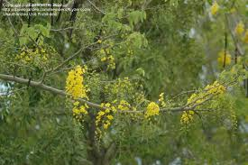 plant identification closed tree with yellow grape like flowers
