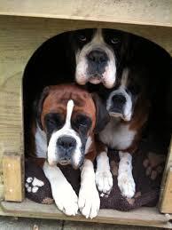 boxer dog t shirts uk in the dog house boxer dogs pinterest dog houses and dog