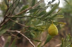 australian native desert plants citrus glauca wikipedia