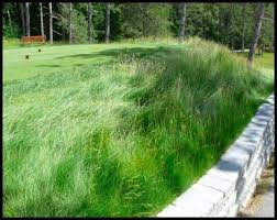 30 best grasses for lawns images on lawns grasses and