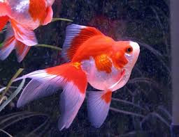 1400 best fabulous fish fancy goldfish and other fish species