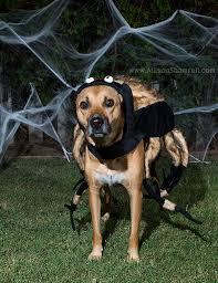 Spider Dog Halloween Costume Bailey Spider Howl Ween 2015 San Diego Pet Photographer