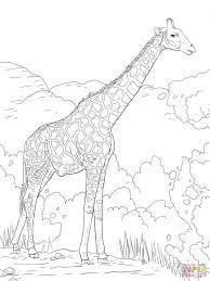 giraffe picture colour giraffe pictures color print