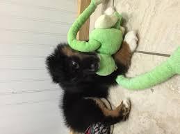australian shepherd virginia mini australian shepherd dog for sale puppies for sale