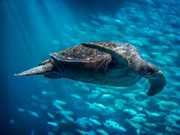 green sea turtle open waters reptiles chelonia mydas at the