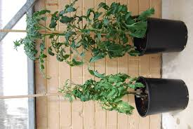 Viroid Diseases In Plants - potato spindle tuber viroid agriculture and food