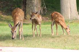 grand tribune deer family attracts attention