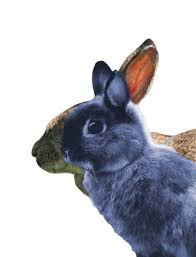 people are breeding bunnies with flat faces u2014 and possibly