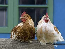 backyard chickens cute trendy spreaders of salmonella the salt