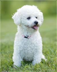 cost of a bichon frise 20 very low maintenance dog breeds