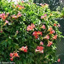 distictis buccinatoria cv inland valley garden planner