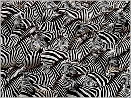 pattern formation zebra design made by nature animal wildlife and facebook