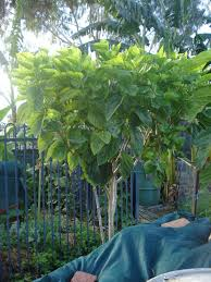 my edible fruit trees mulberry trees wa