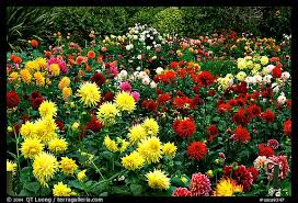 flowers san francisco picture photo multicolored dalhia flowers golden gate park san