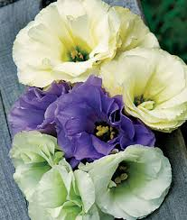 Lisianthus Rose Bouquet Collection Lisianthus Seeds And Plants Annual Flower