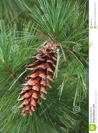 white pine cone ayacahuite pine cone stock image image of cone portrait 85333383
