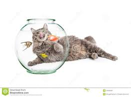 cat hungry for pet fish stock photo image 52805417
