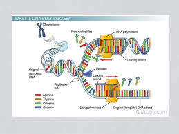 enzymes involved in dna replication