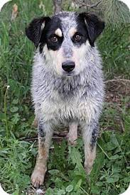australian shepherd cattle dog mix australian cattle dog dogs for adoption pinterest