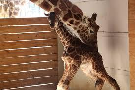 how april the giraffe made livestream history new york post