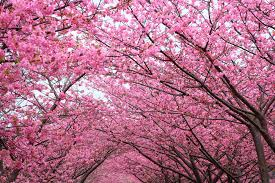 cherry blossom wallpapers collections of hdq up to 4k wallpapers