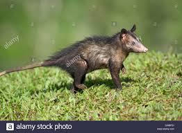 common opossum stock photos u0026 common opossum stock images alamy