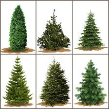 real christmas trees a useful guide to the right christmas tree real christmas