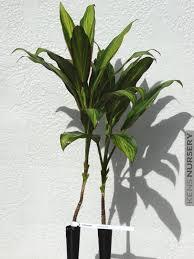 2 most popular hawaiian ti kiwi cordyline plants u2013 kens nursery