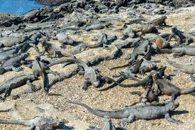 iguana island large group of marine iguanas on fernandina island in the galapagos
