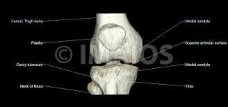 Interactive Knee Anatomy The Knee Mri Atlas Of Anatomy In Medical Imagery