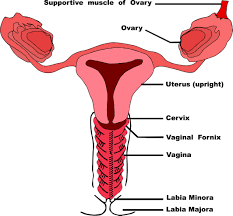 Pregnant Female Anatomy Diagram Tag Female Reproductive Anatomy Diagram Front View Archives