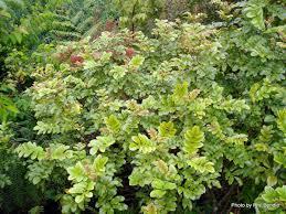 native plants of nc ackama rosifolia makamaka nz native plants kauri community