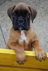 boxer dog uncontrollable head shaking we had a boxer when i was growing up she was the best how we