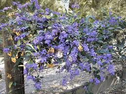 native plants australia list australian native climbers and creepers gardening with angus