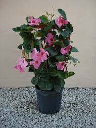 Braided Hibiscus Tree Pictures by Lawnboyz Lawn Care U0026 Landscaping Inc