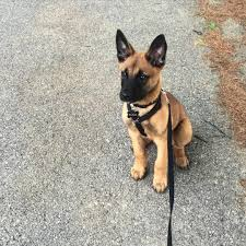 belgian malinois puppies for sale 2016 belgian mallinois u2026 pinteres u2026