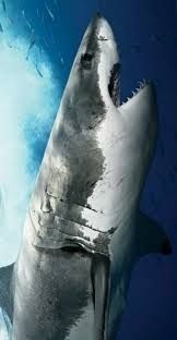 262 best sharks images on pinterest shark week sharks and teeth