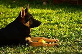 belgian shepherd hip dysplasia why german shepherds are prone to hip dysplasia u2013 and what to do