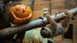 babies first halloween transparent background halloween adorable baby sloth plays with pumpkin at london zoo
