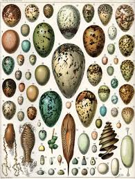 bird eggs u2013 ornithology