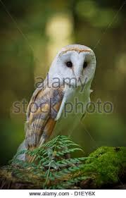 North American Barn Owl Landscape Photograph Of A Barn Owl Tyto Alba Sitting On A